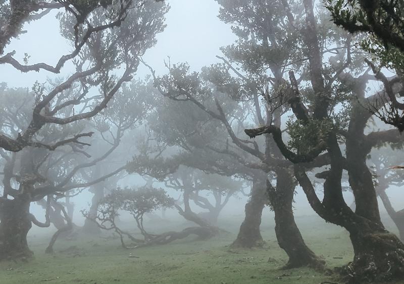 Fanal, Las wawrzynowy, Madera, stare drzewa, wakacj na Maderze
